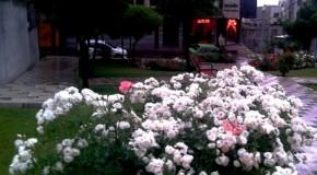 همراهنگاره:  گلهای گیشا