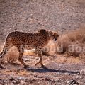 Asiatic Cheetah - Photo by Masoud Borbor / Iran