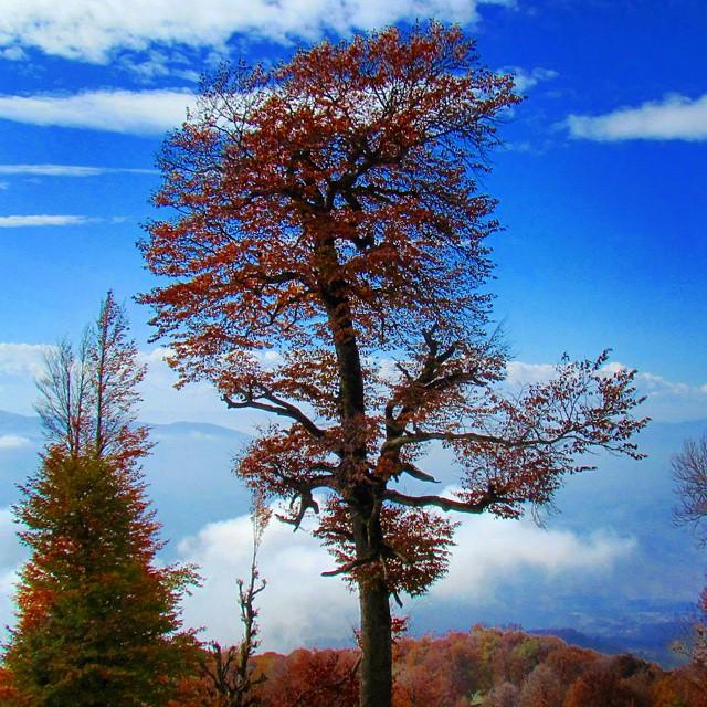 نگاره:  درخت جِیرونی