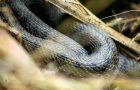 نگاره:  این همسایگانِ دوستداشتنیِ سربهتو#natrix #snake #calm #reptile #wildlife #مار #iran #nature