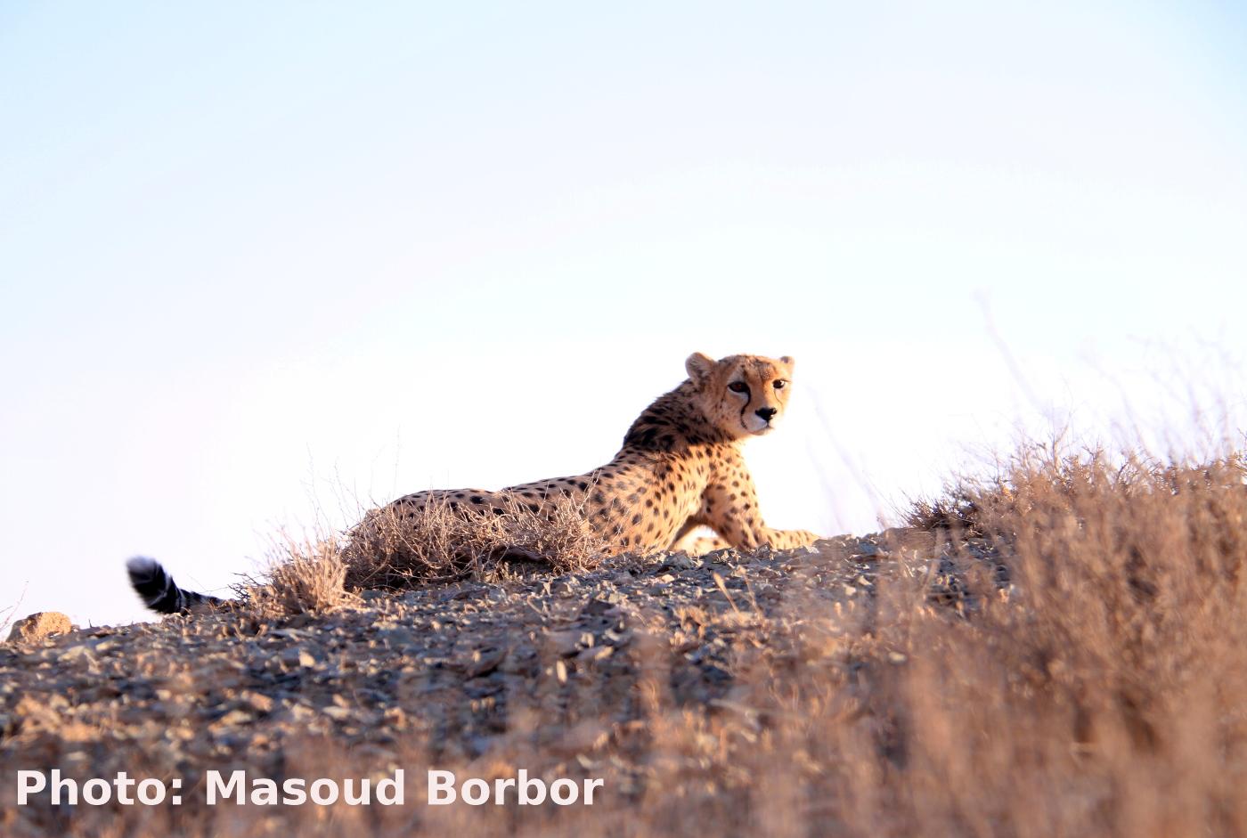 تیر خلاص به یوز در خشاب دولت محیط زیست